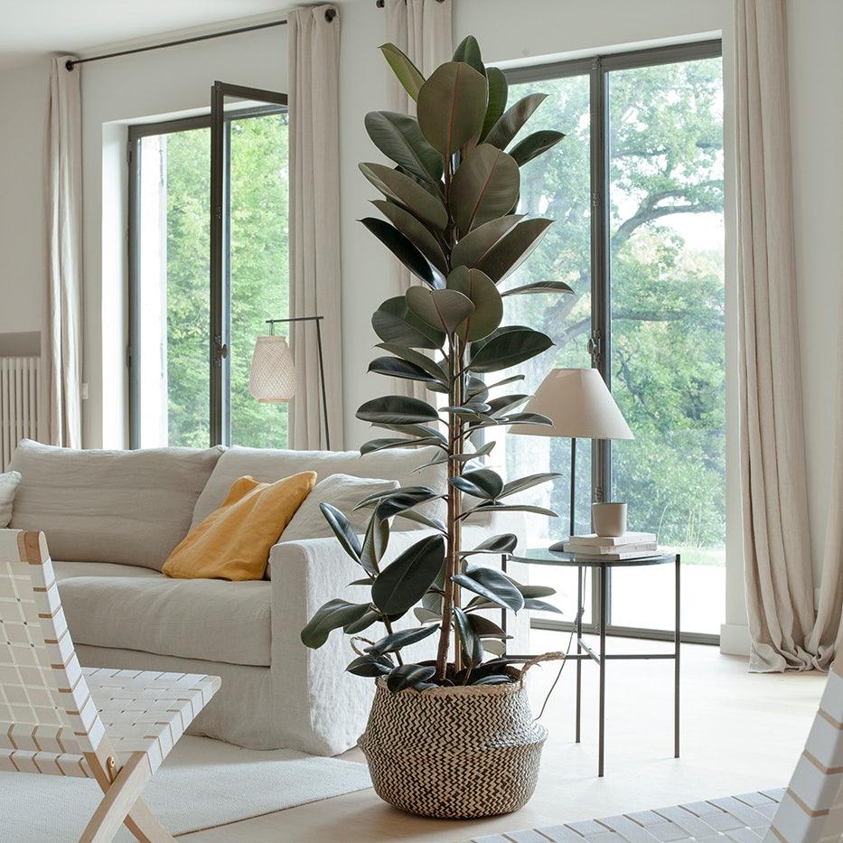 Ficus in einer Wohnung