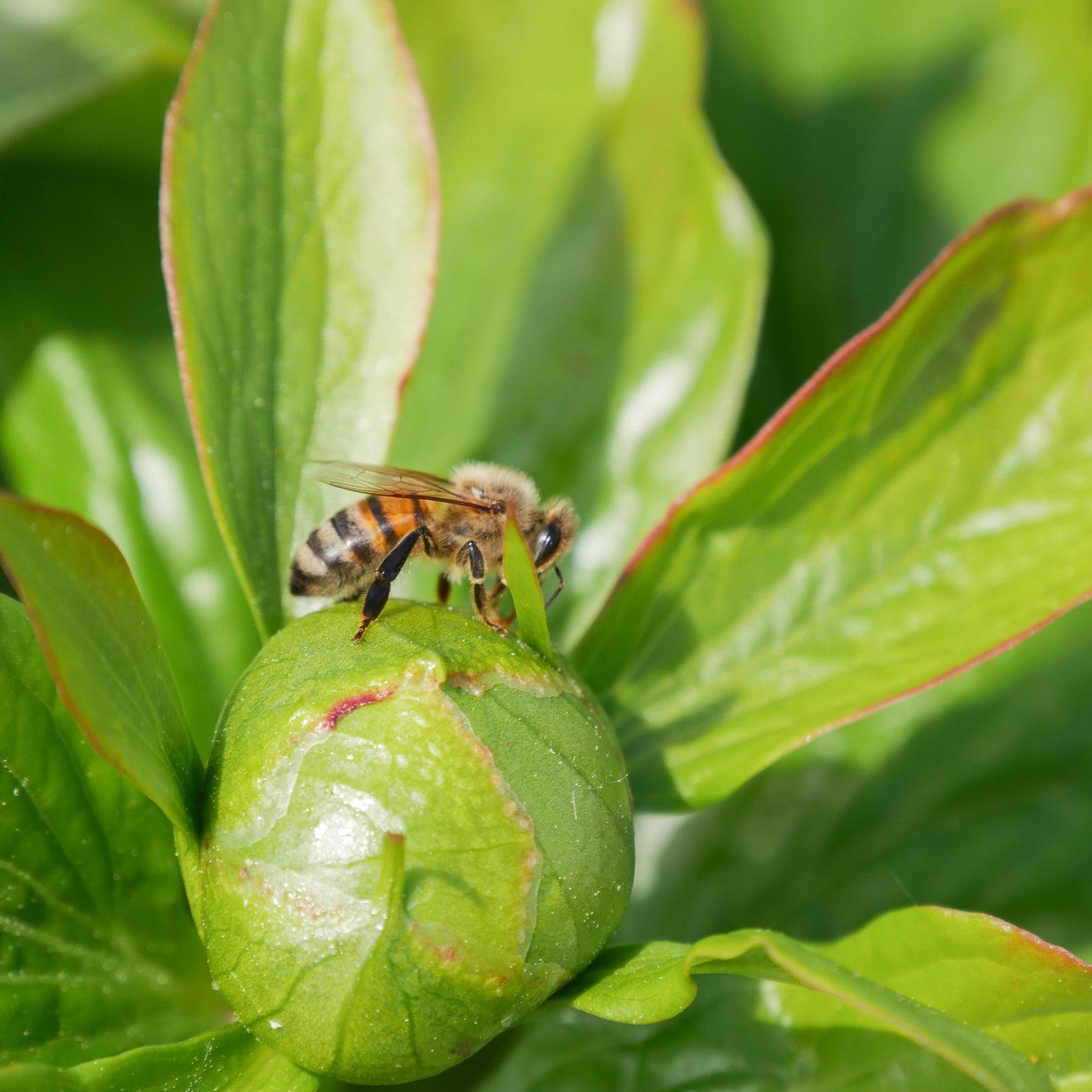 des-plantes-melliferes-pour-les-abeilles