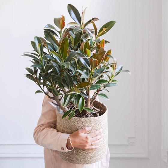 Elma - Ficus 'Melany' & Übertopf