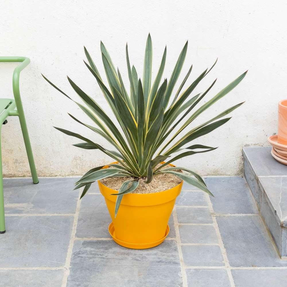 yucca-gloriosa-entretien