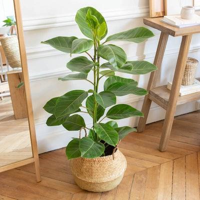 Nils & Übertopf- Ficus altissima