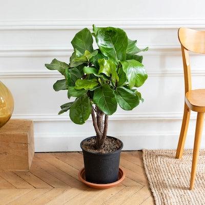 Owen ohne Übertopf - Ficus Lyrata