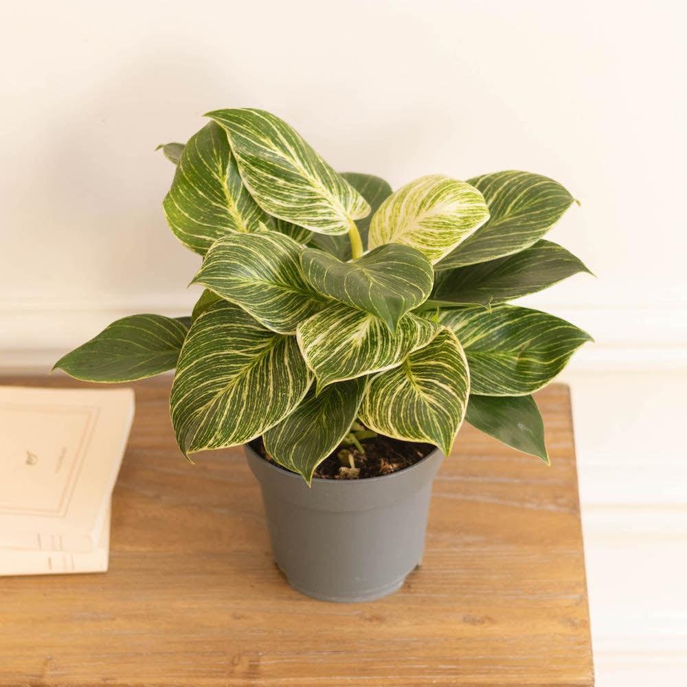 Olivia ohne Übertopf - Philodendron