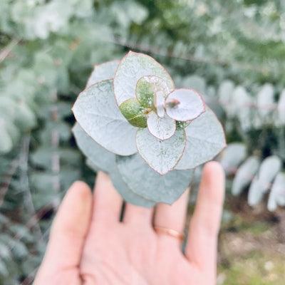 Eucalyptus producteur