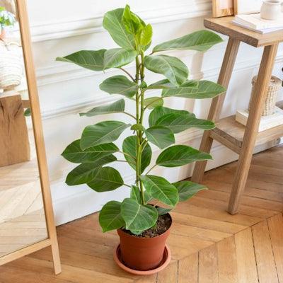 Nils ohne Übertopf- Ficus altissima