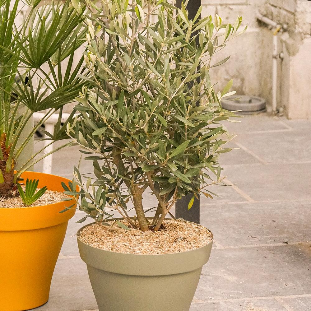 arroser-olivier