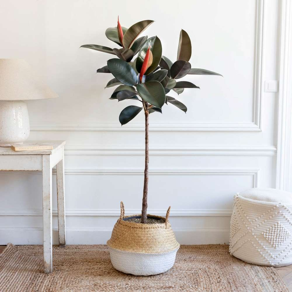 Harold et son panier blanc - Ficus elastica 'Abidjan'