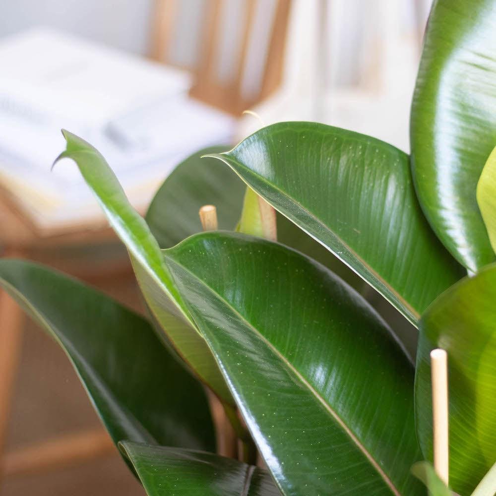 Jane - Zoom sur Ficus elastica