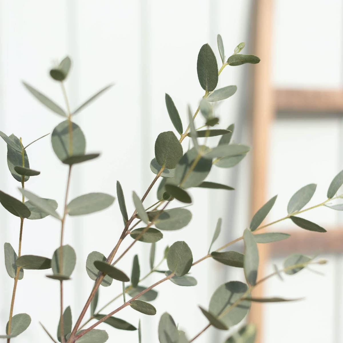 Zoom sur Rodrigo - Eucalyptus