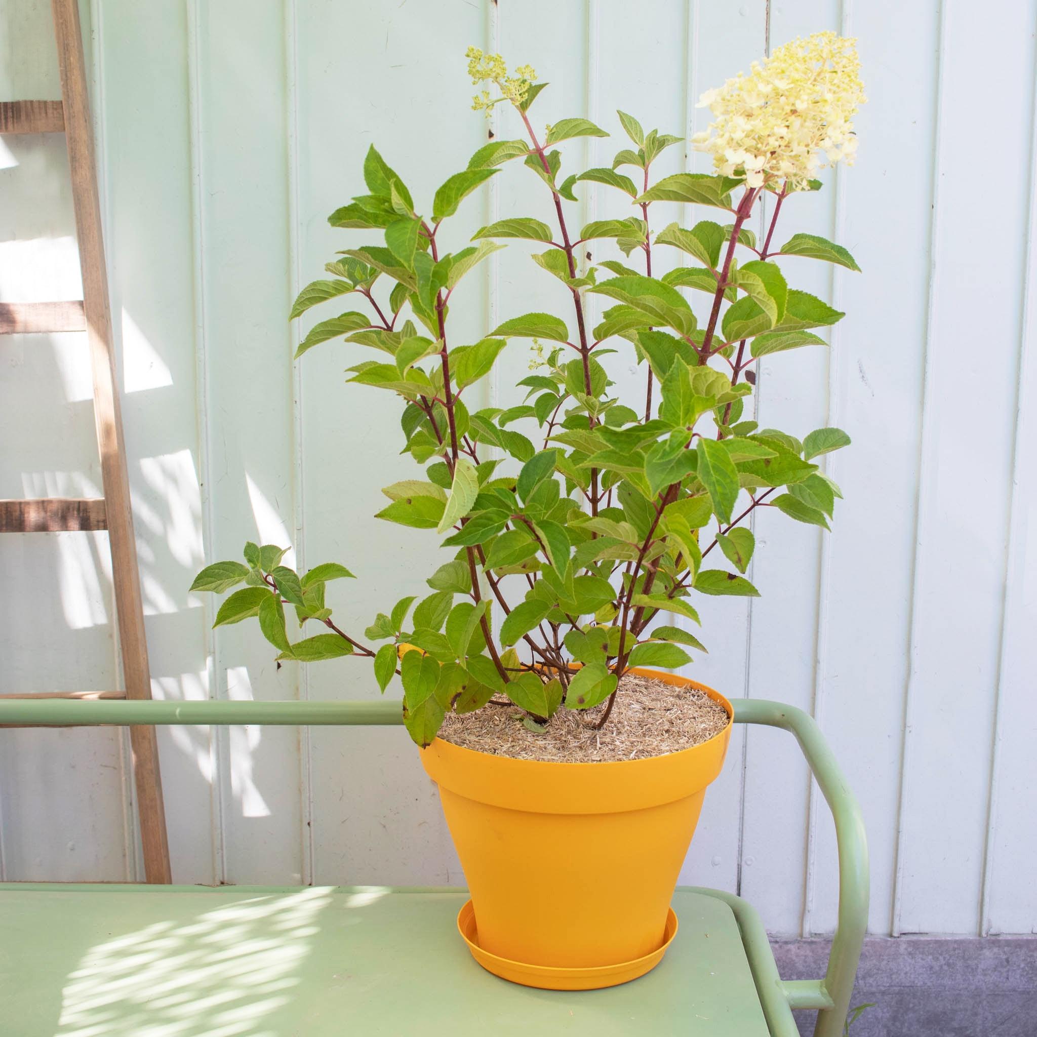 Florence et son pot jaune - Hydrangea paniculata