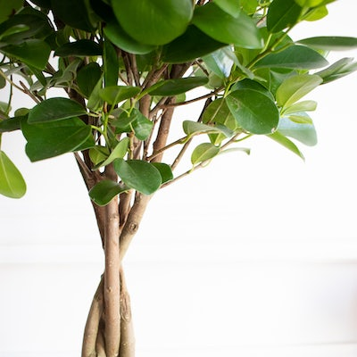 Zoom sur Molly - Ficus 'Moclame'