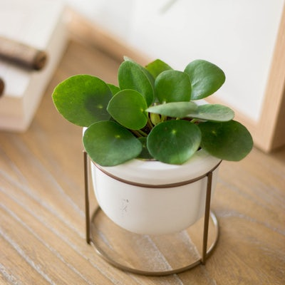 Willy - Zoom sur Pilea