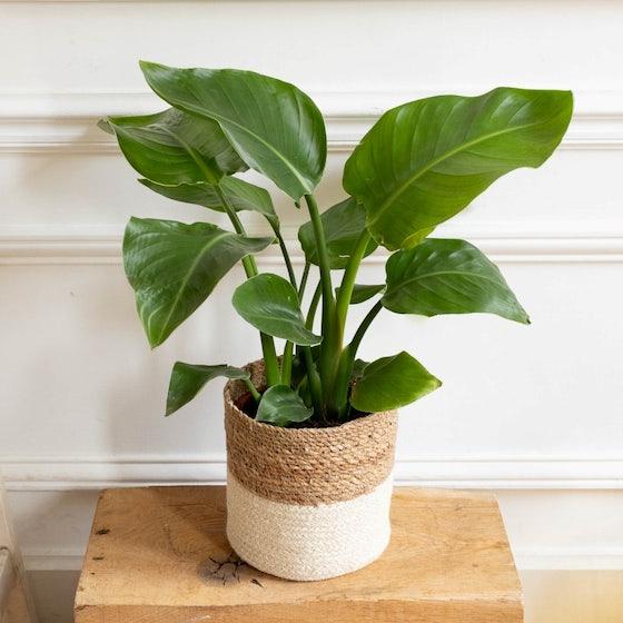Frieda et son cache-pot - Strelitzia nicolai