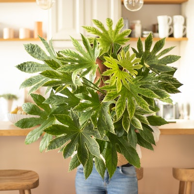 Alex - Fatsia 'Spiderweb' et son cache-pot