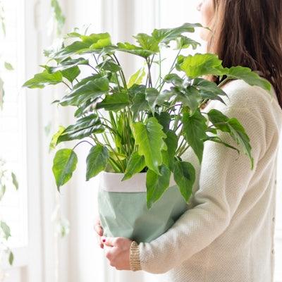 Charlie - Philodendron xanadu et son cache-pot vert