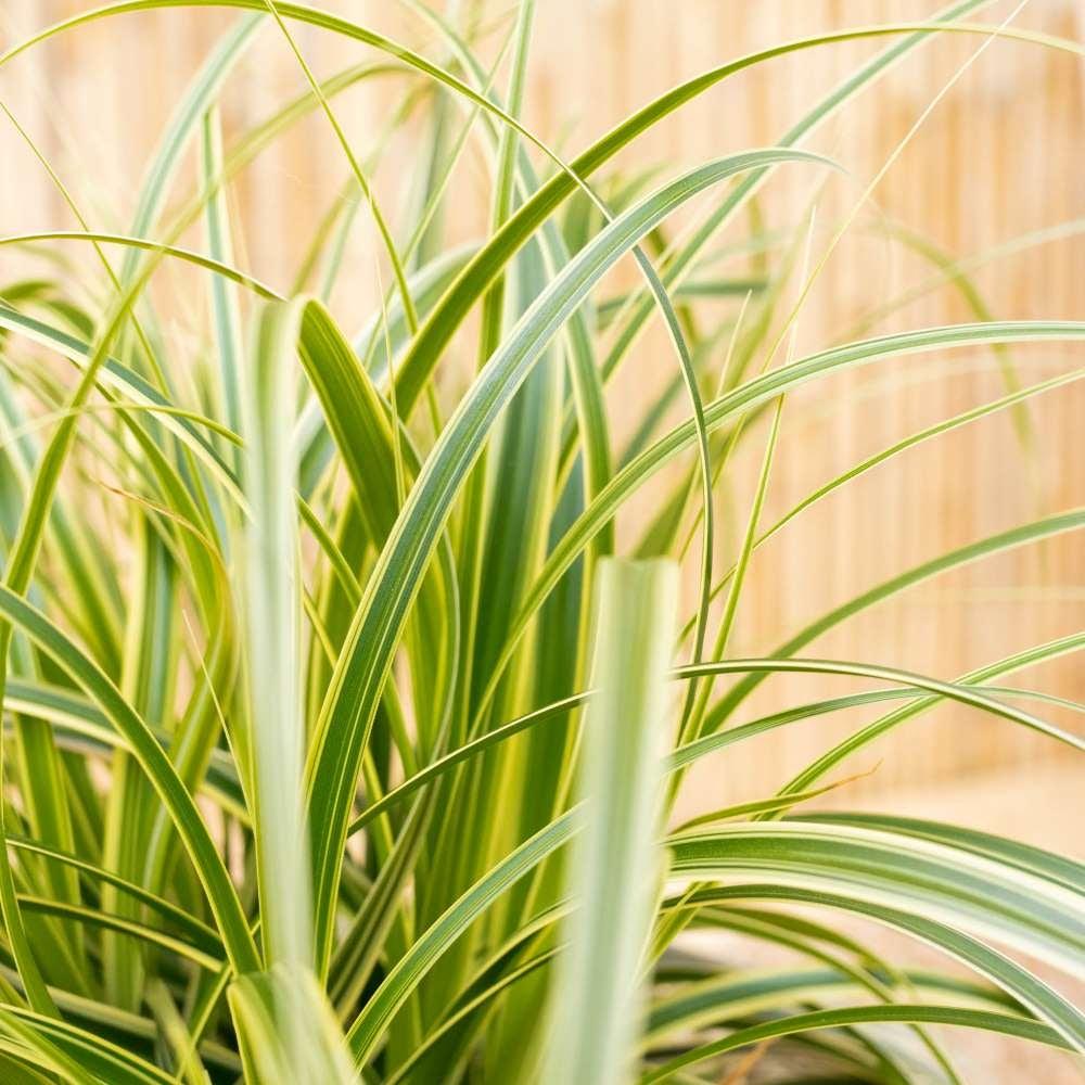 Gros plan sur Robin - Carex