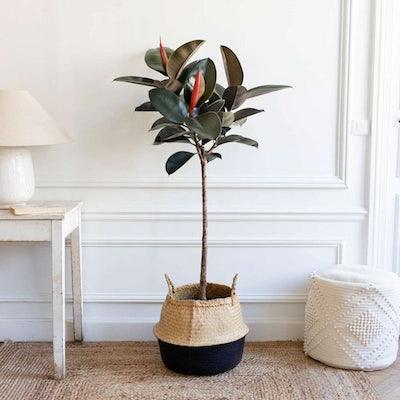 Harold et son panier noir - Ficus elastica 'Abidjan'