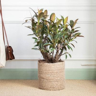 Elma et son cache-pot - Ficus 'Melany'