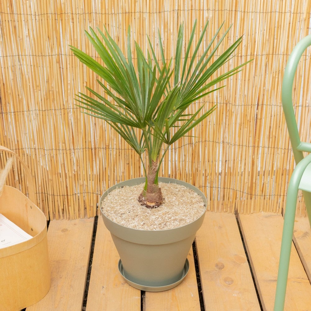Tancrède et son pot vert - Trachycarpus fortunei