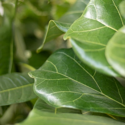 "Nahaufnahme unseres Ficus Lyrata ""Leon"""
