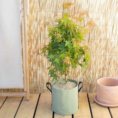 Hana et son pot BACSAC® - Érable du Japon