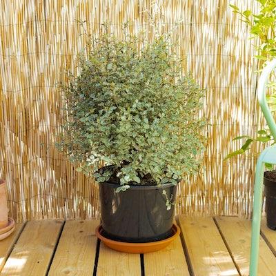 Maëlle seule - Pittosporum tenuifolium