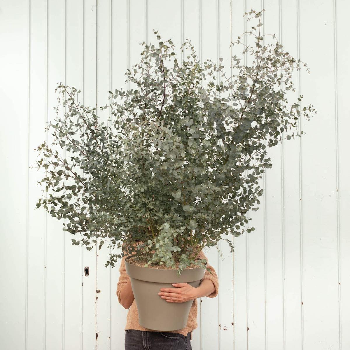 Rodrigo - Eukalyptus (ohne Topf)