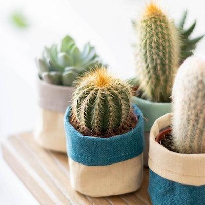 Louise - Mini cactus avec cache-pots
