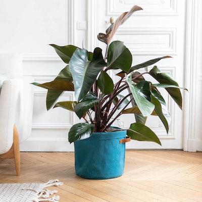 Liam et son cache-pot bleu - Philodendron 'Red Beauty'