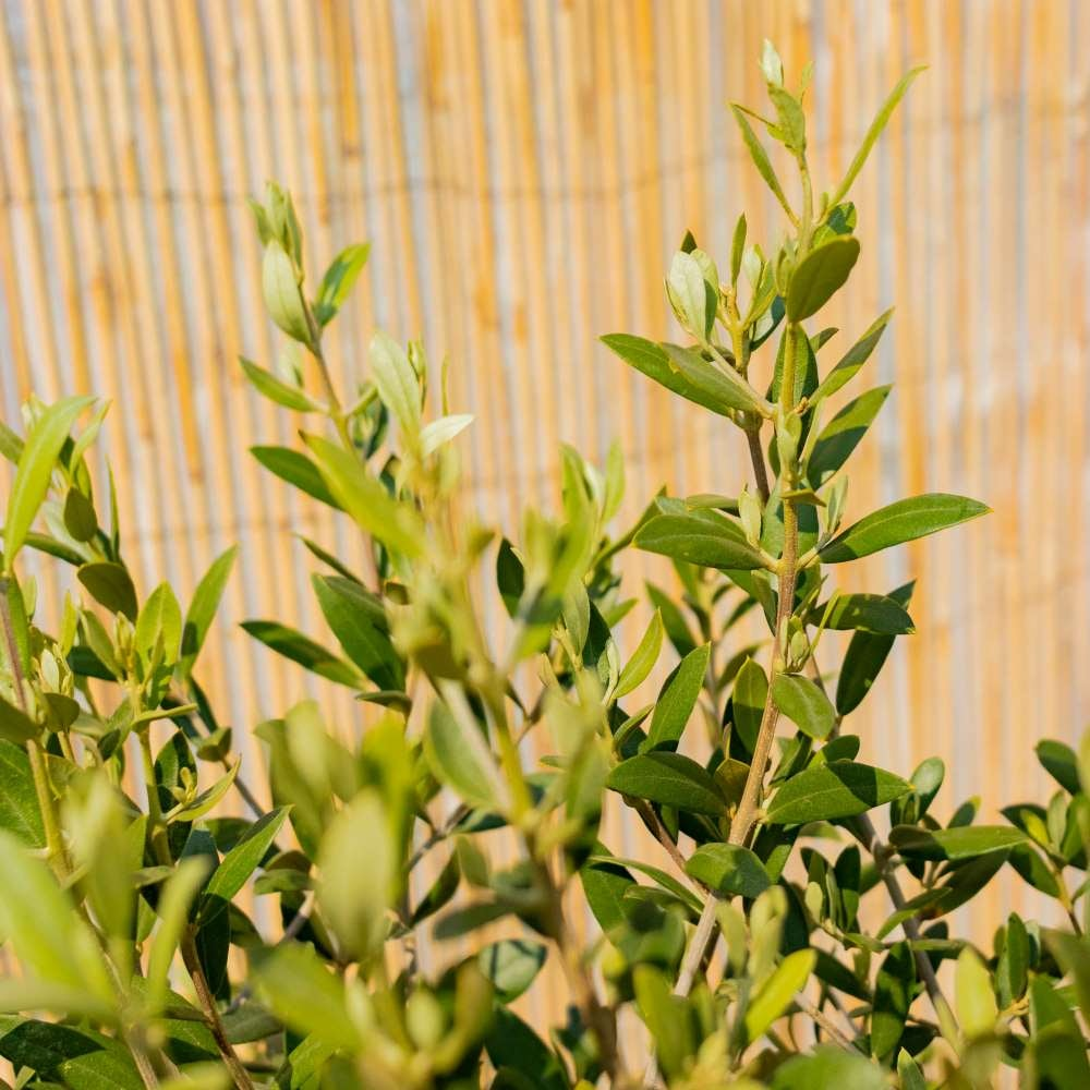 Nahaufnahme auf Luigi - Olivenbaum