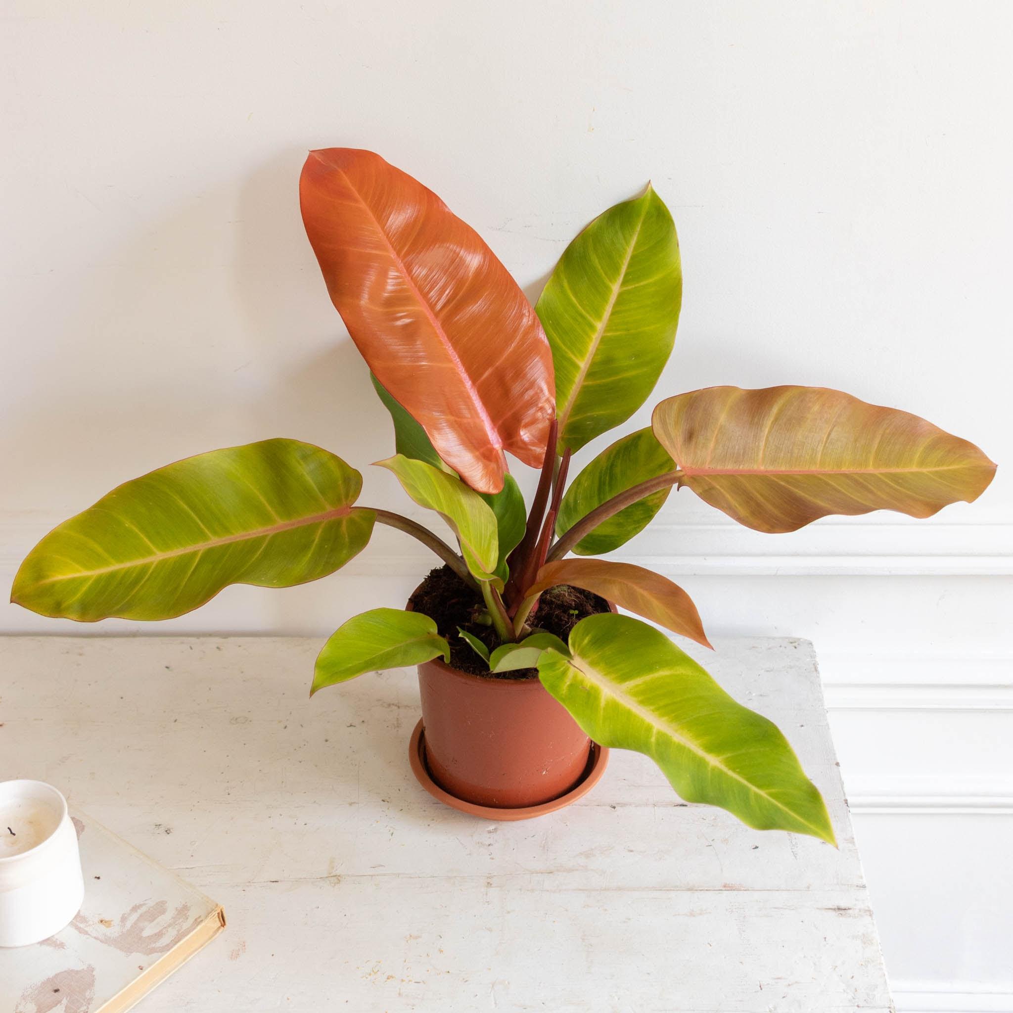 Prince sans cache-pot - Philodendron 'Prince of Orange'
