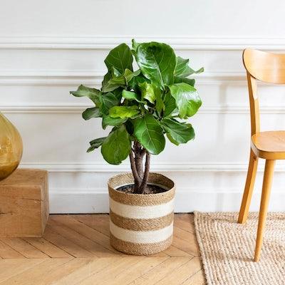 Owen et son cache-pot - Ficus lyrata
