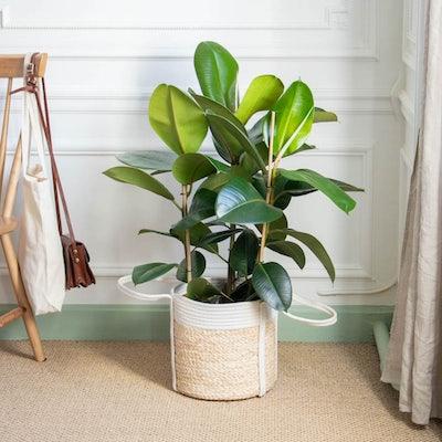 """Unser Ficus elastica """"Jane"""" mit Übertopf"""