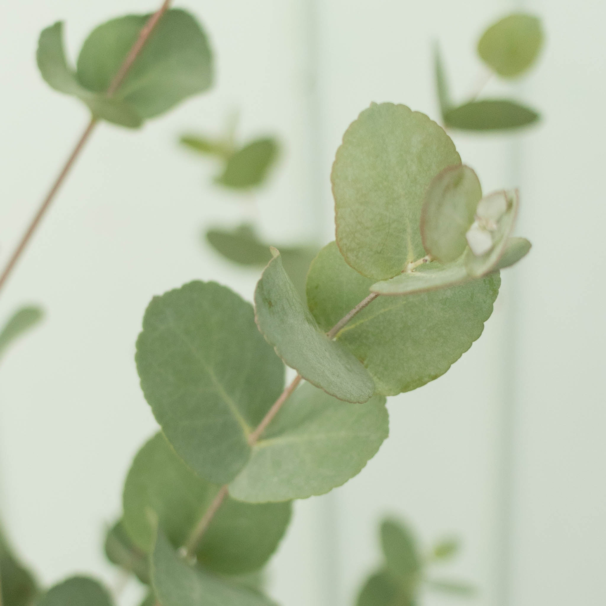 Zoom sur Alessandro - Eucalyptus