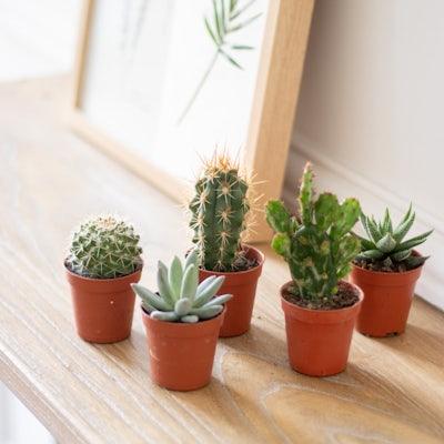 "Unser Mini Kaktus-Set ""Louise"" ohne Übertopf"