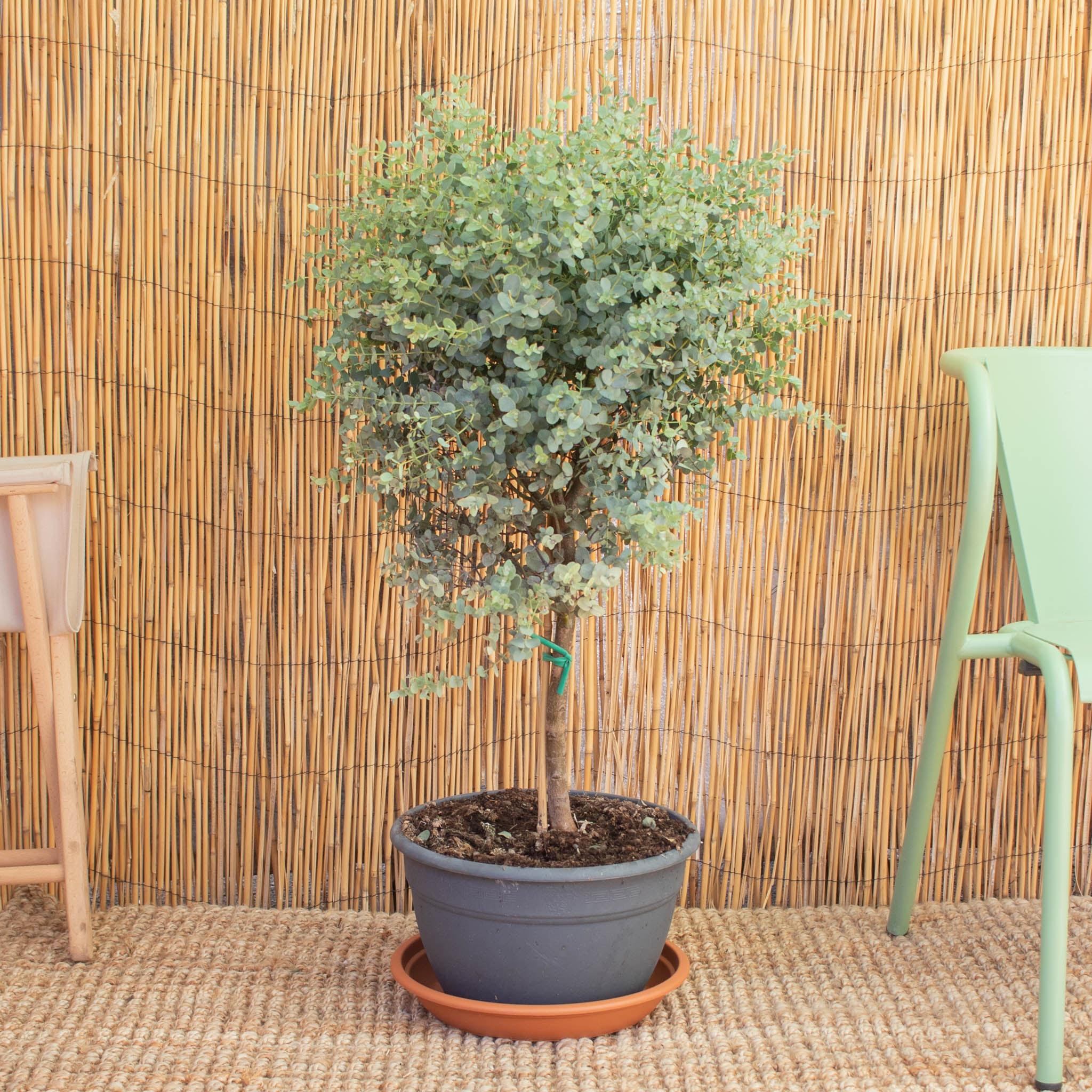 Alessandro allein - Eukalyptus gunnii