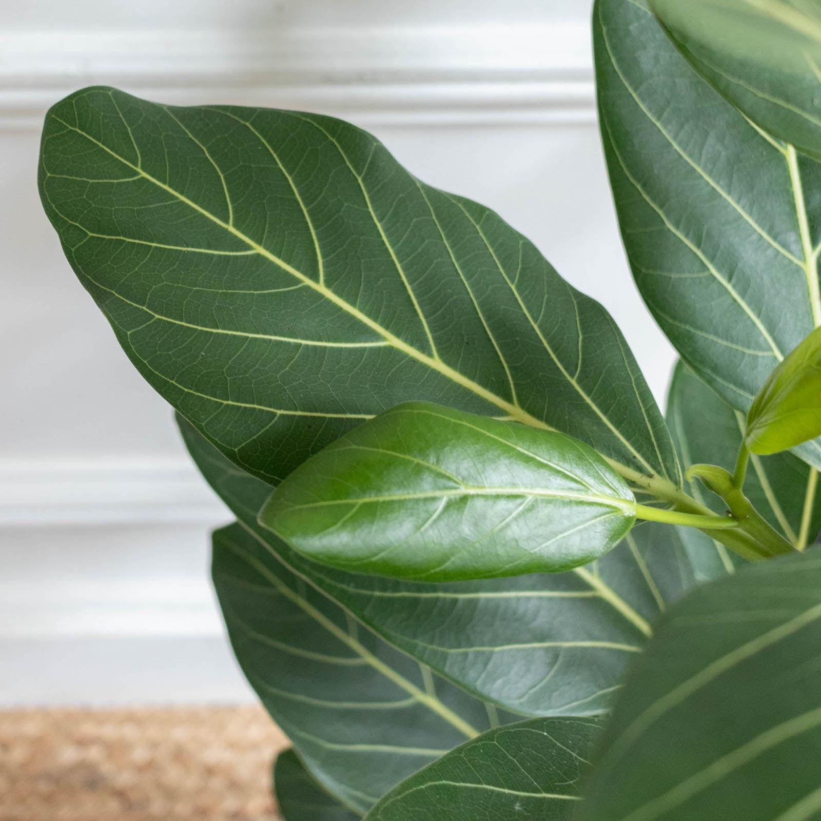 Zoom auf Audrey - Ficus benghalensis