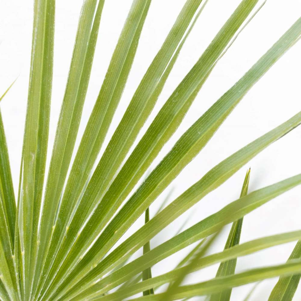 plante-exterieur-resistante-gel