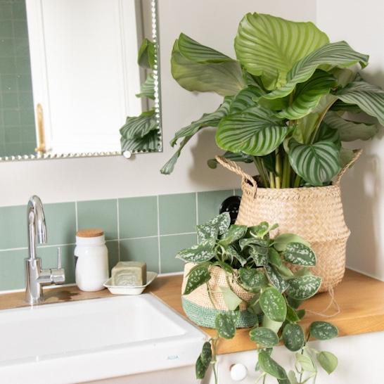 Plantes de salle de bain