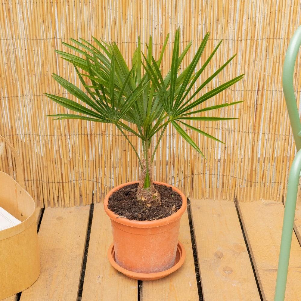 Tankred allein - Trachycarpus fortunei