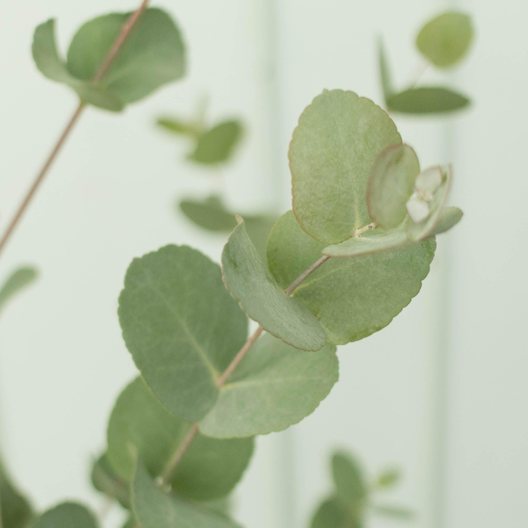 Zoom aus Alessandro - Eukalyptus gunnii