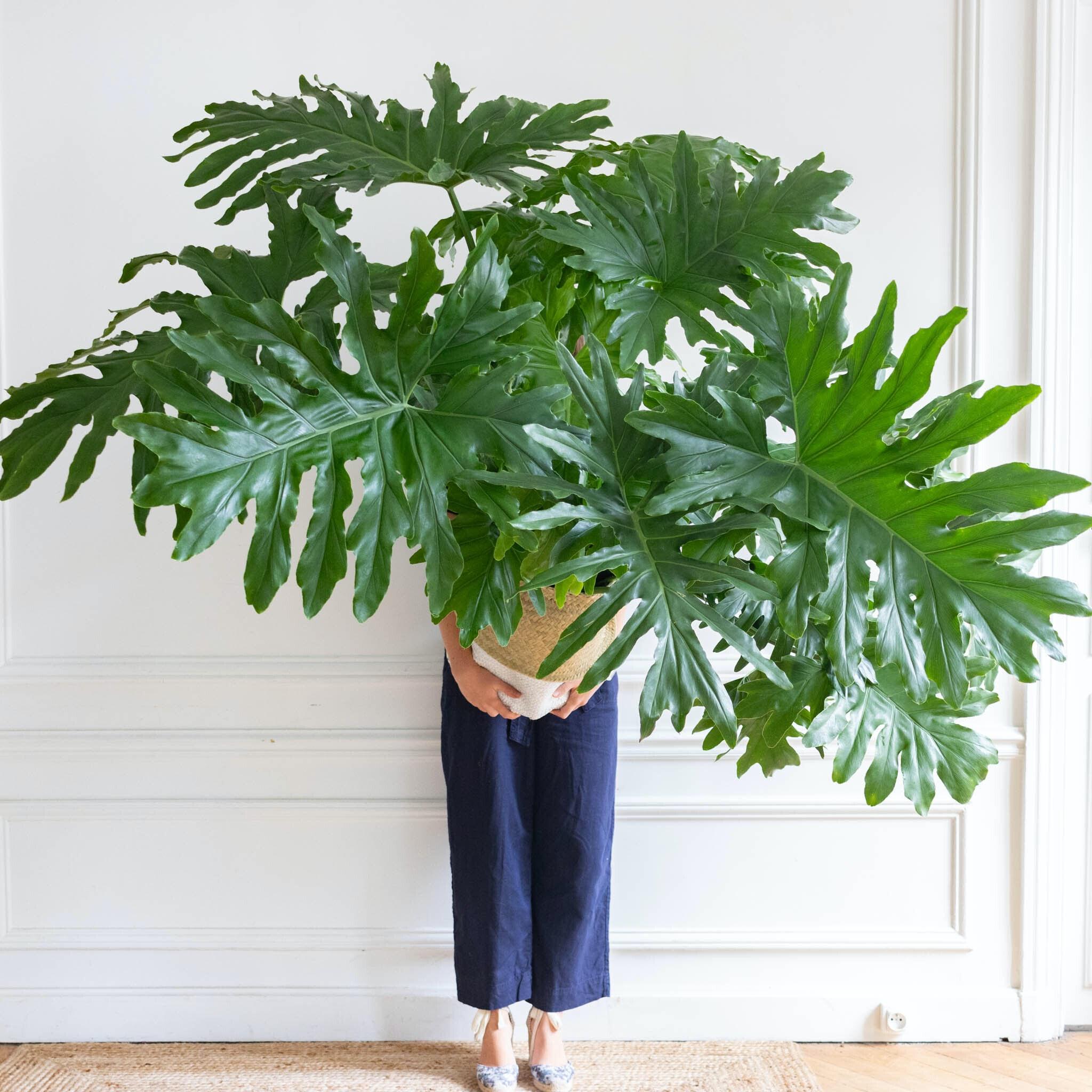 Philippe - Philodendron selloum et son cache pot