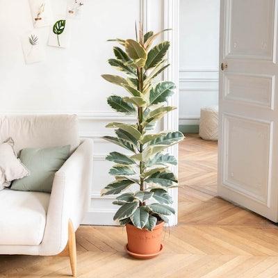 June - Ficus 'Tineke' sans cache-pot