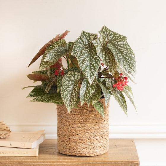 Begonia Teddy