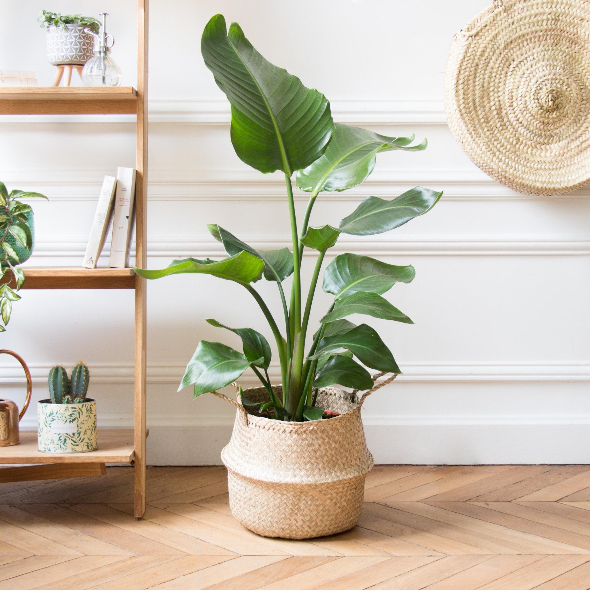 Strelitzia plante verte salon décoration d'intérieur