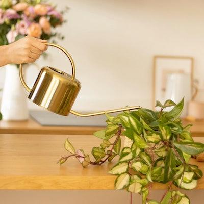 arrosage plante verte bergamotte