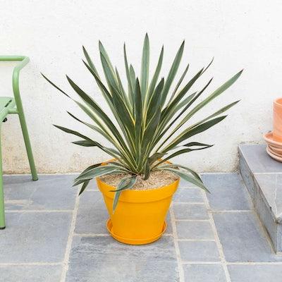 entretien-yucca-gloriosa