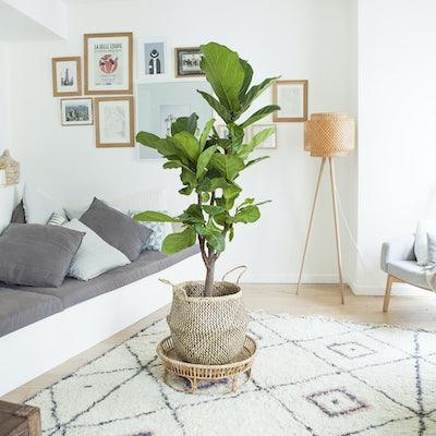 Ficus lyrata dans un salon