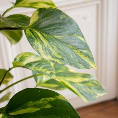 Colin - Nahaufnahme Epipremnum pinnatum