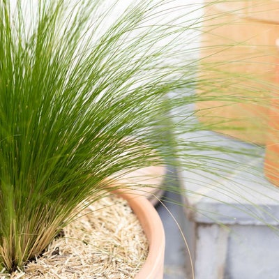 Sybille - Zoom sur Stipa 'Pony Tails'